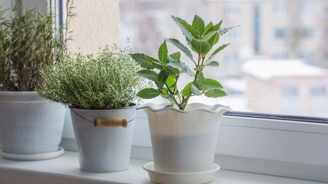 Herbs in the house prefer - Herbs on the windowsill
