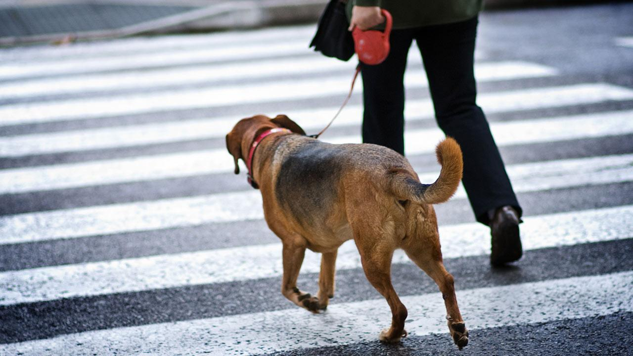Advantages of the running leash for dogs - a dog on the running leash crosses the road