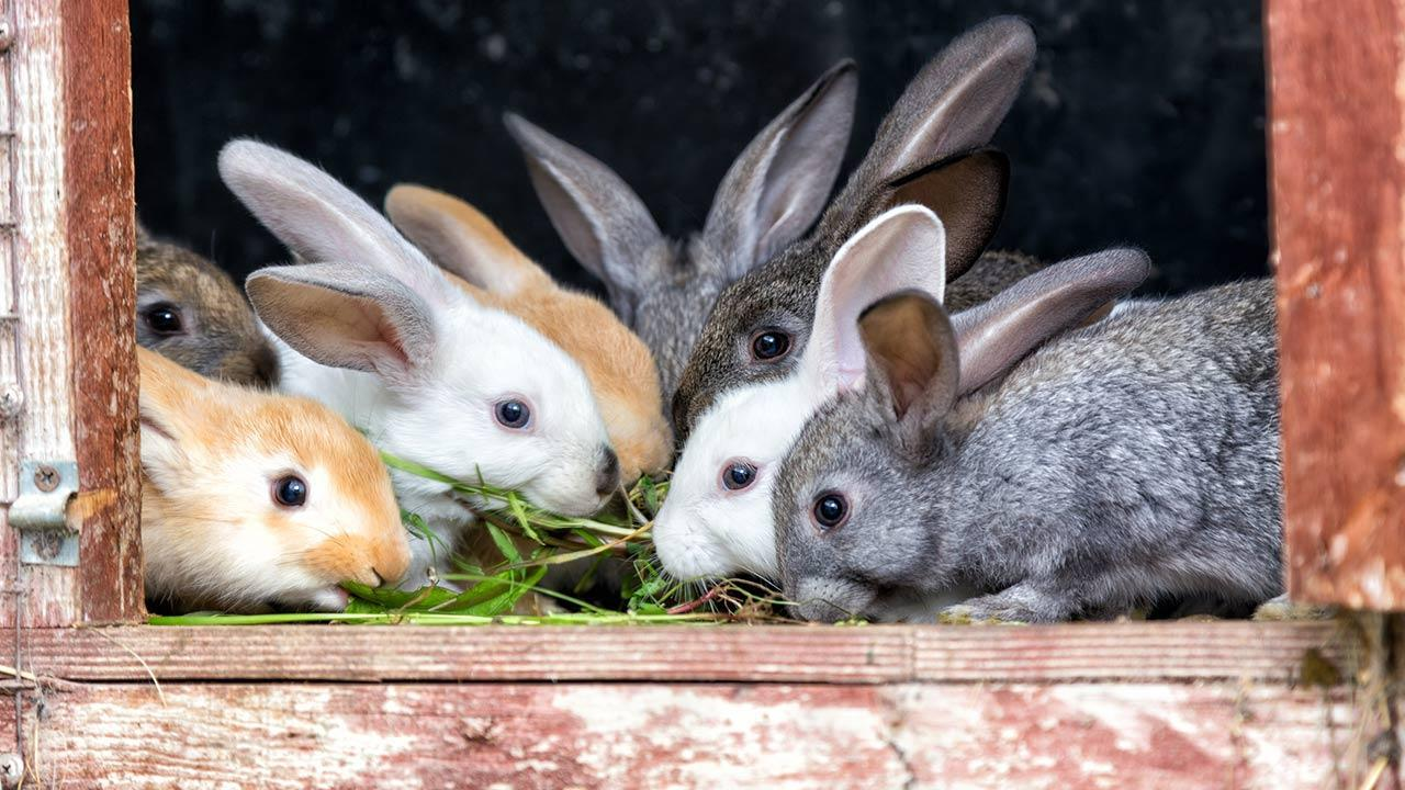 One rabbit as pet / many rabbits