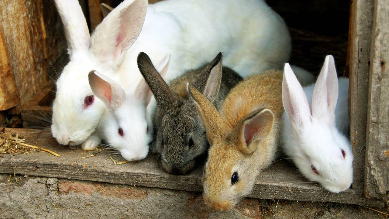One rabbit as a pet / many rabbits in a barn