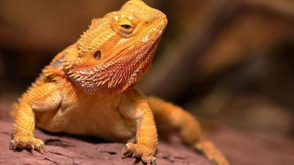 The bearded dragon as a pet