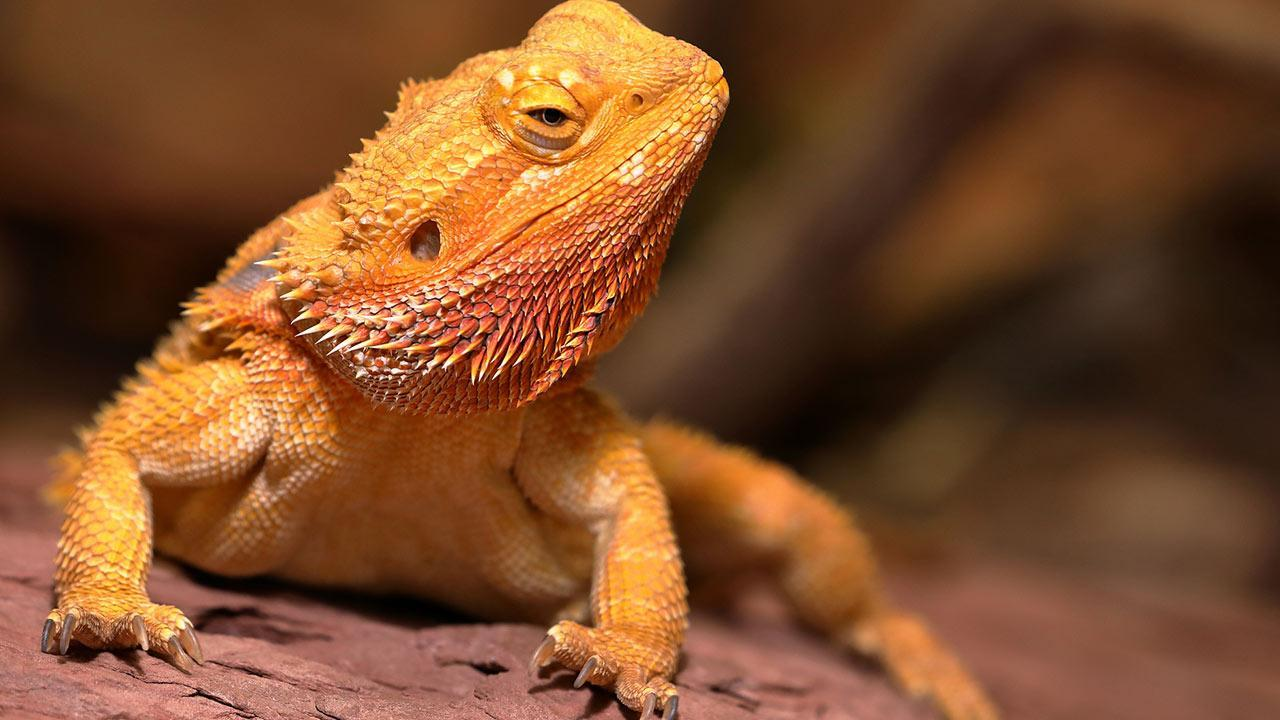 The bearded dragon as a pet / a bearded dragon basking