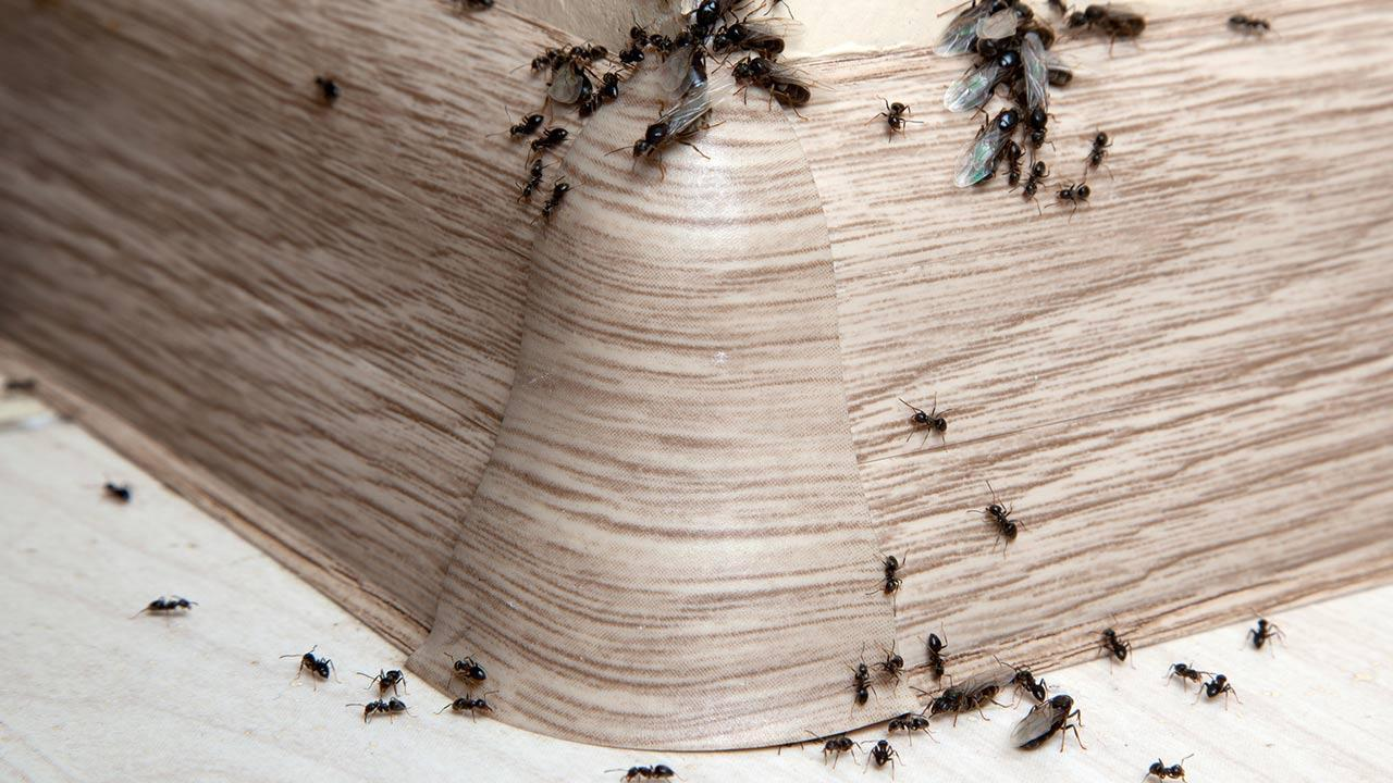 Ants in the house ! What to do? / Ants in the house