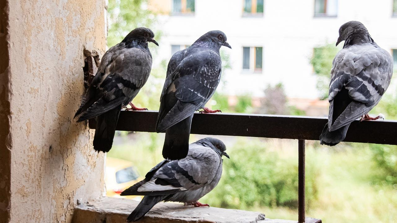 Pest control - Pigeons / Pigeons on balcony