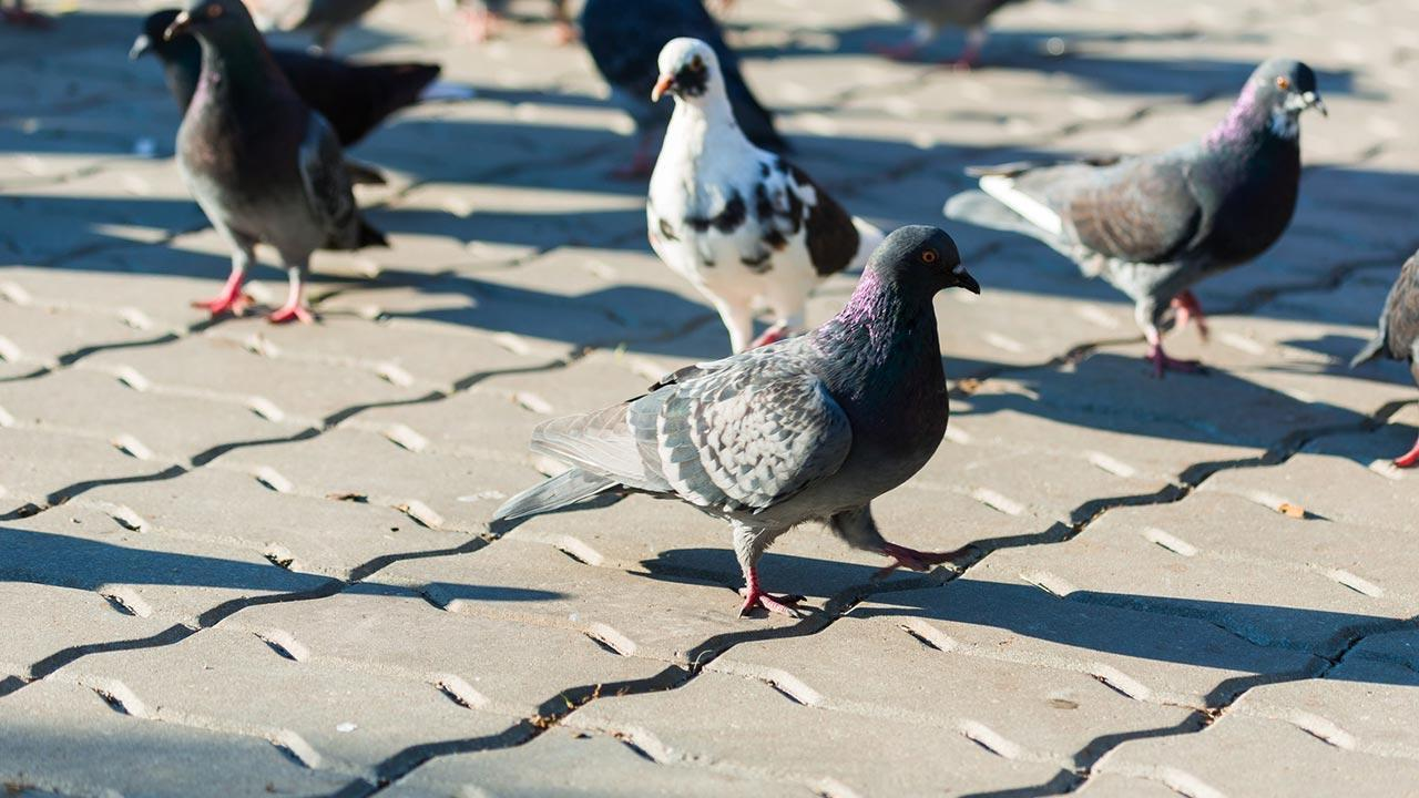 Pest control - pigeons / several pigeons