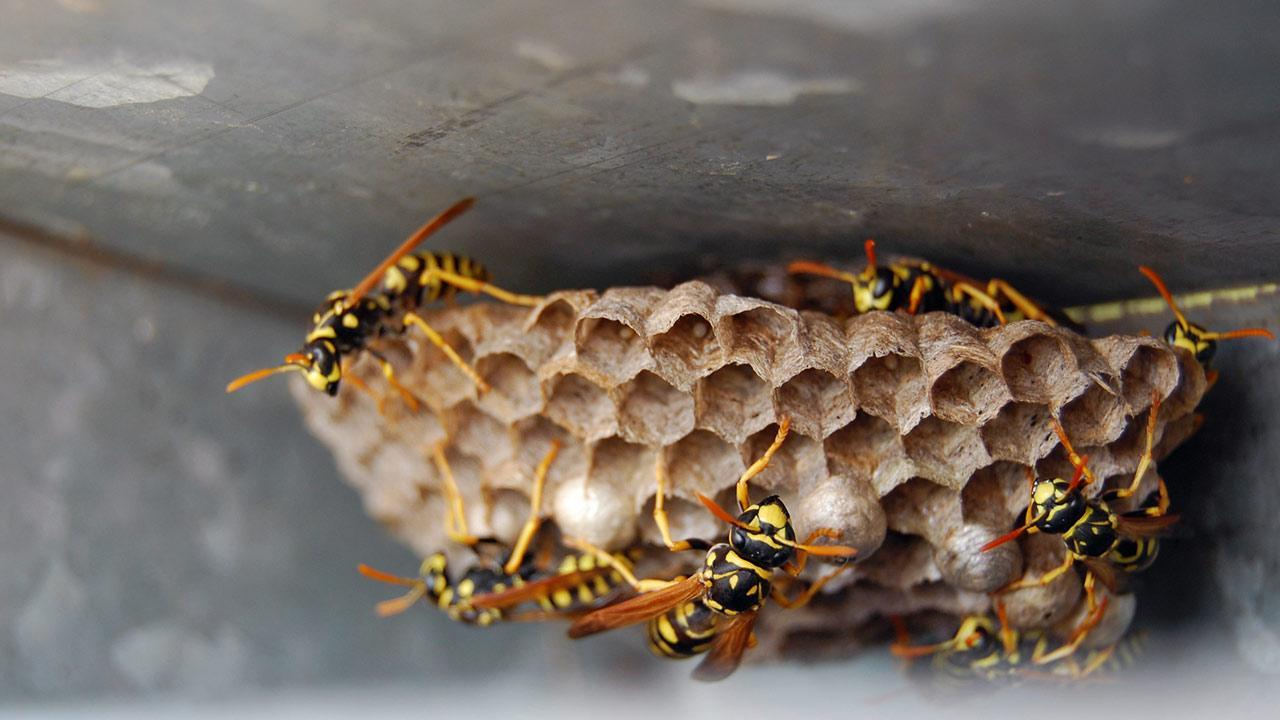Fight wasps in the garden / many wasps