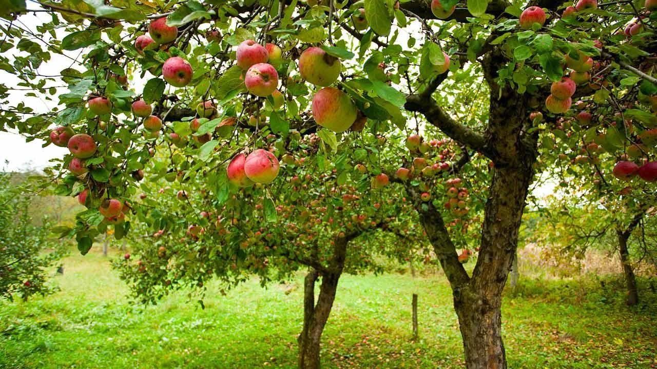 How do I plant an apple tree? / several apple trees
