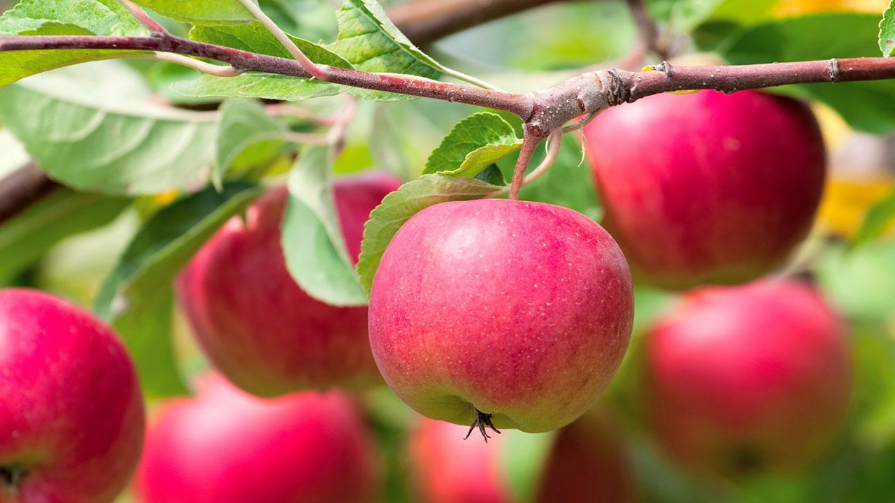 How do I plant an apple tree? / Close up of red apples