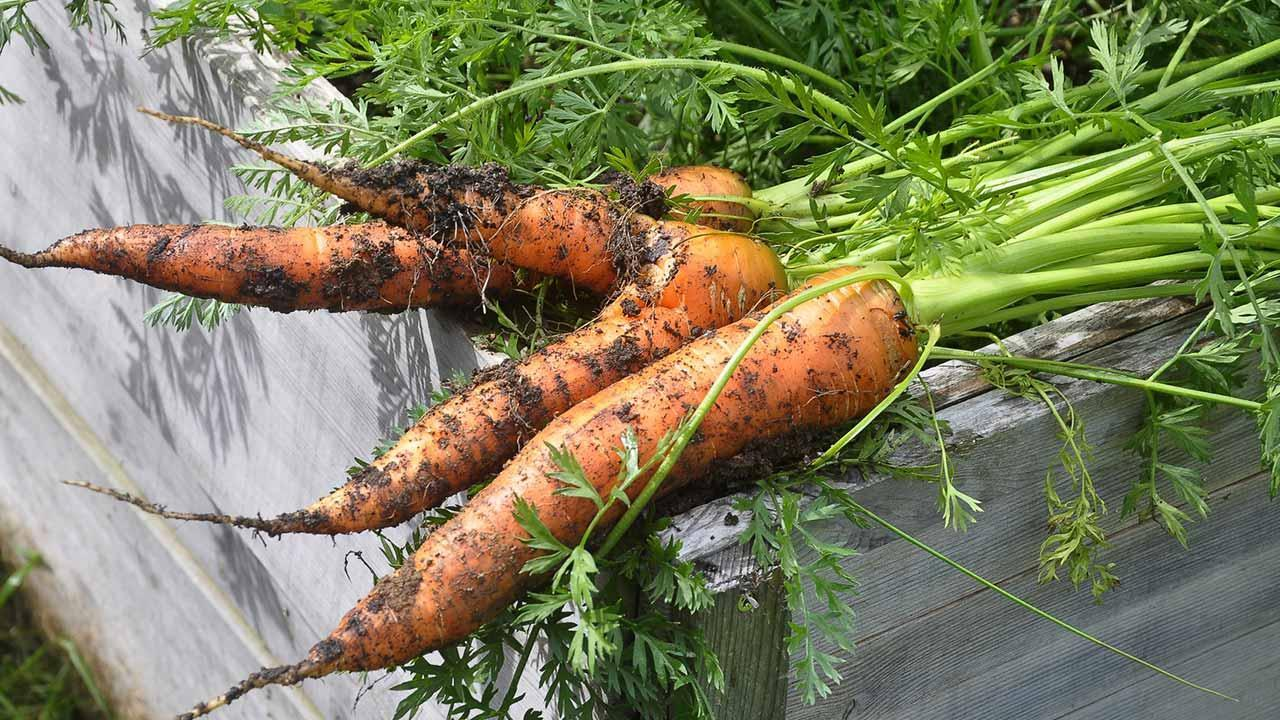 Sowing in August - fresh carrots