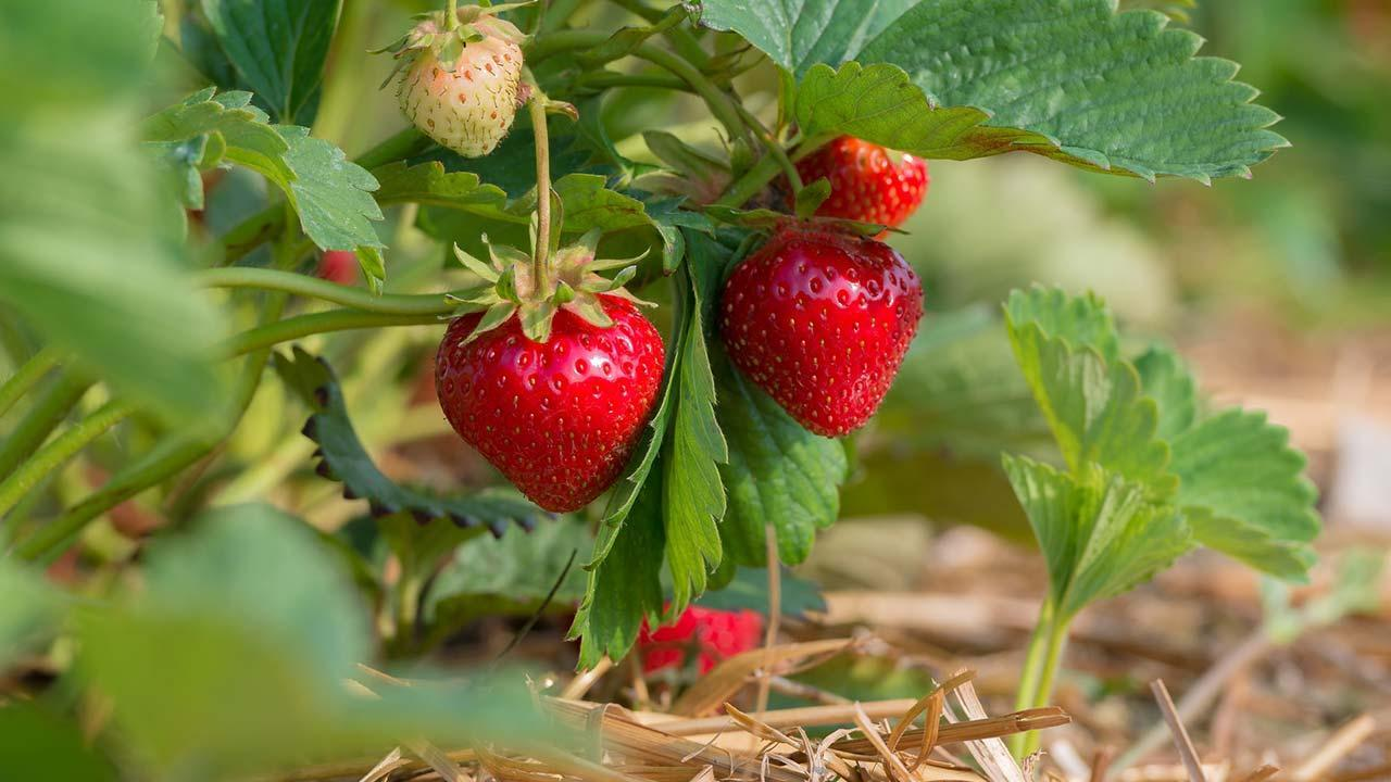 Sowing in August - strawberries