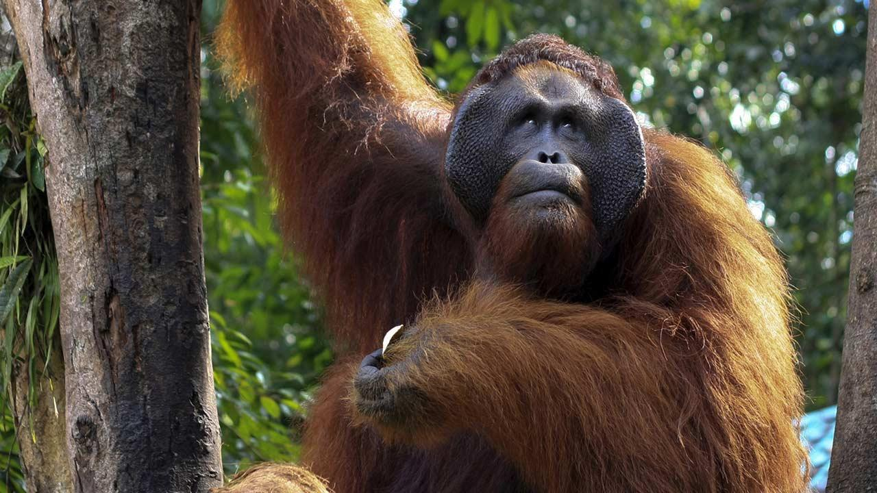 The most beautiful animal parks in Germany - Orang Utan