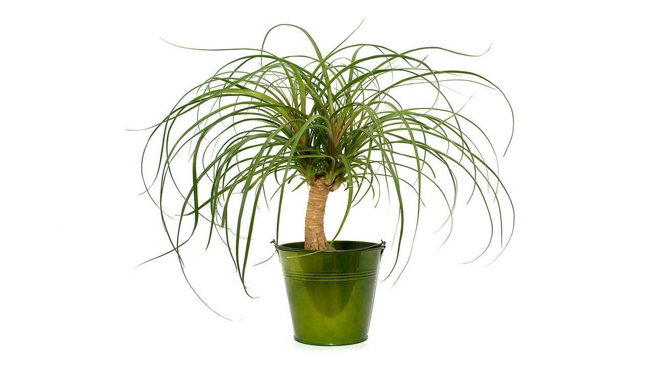 Easy-care indoor plants - Elephant foot