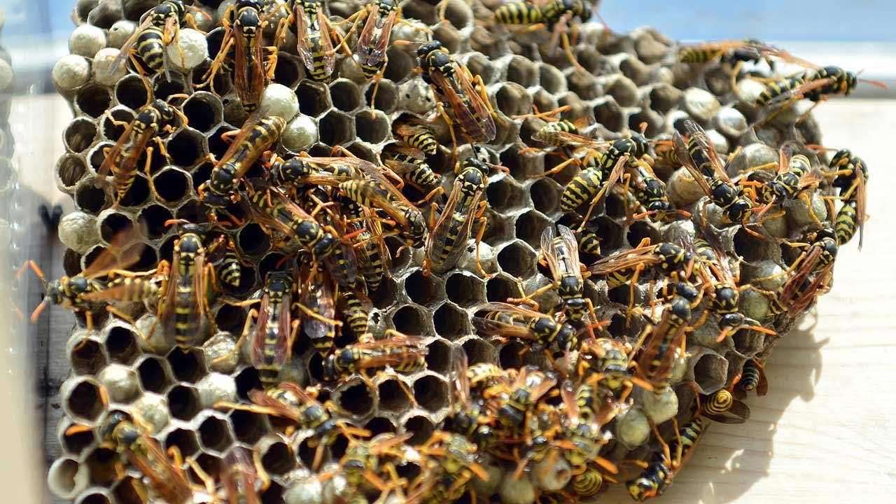 A wasps' nest at the house - what to do - Wasps' nest